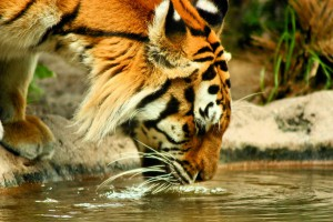 tiger-drinking-water